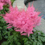 Astilbe arendsii 'Astary Rose' / Prachtspiere