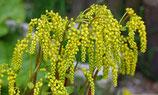 Chiastophyllum oppositifolium / Gold-Tröpfchen