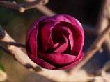 Black Tulip -  230cm - solitär