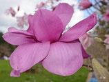 Purple Sensation - freier Stamm 80cm - Einzelstück