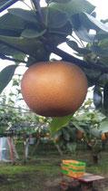 あきづき梨 5kg