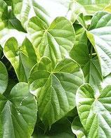 Tinospora cordifolia (Guduci, Giloy)