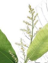 Semecarpus anacardium (Bhallataka)