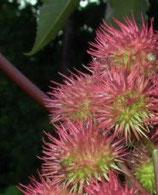 Ricinus communis root (Eranda, Rizinus)