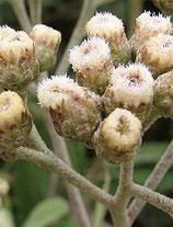 Pluchea lanceolata (Rasna)