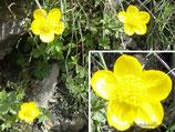 Botón de oro - Ranunculus demissus