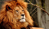 Sei stark wie in Löwe!