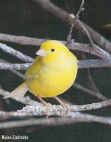 Kanarienvogel (gelb)