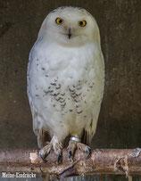 Schneeeule (Hedwig)