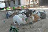 Gift a rabbit in Uganda