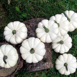 Kürbis - Mandarin weiß