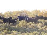 Colis de viande de taureau AOP BIO