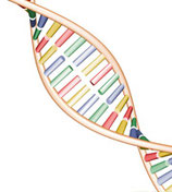 DNA Analyse (Gentest) umfasst: