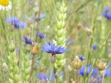 vom Blauen See- mit Kornblumen- honig (Honig aus Kindertagen) (330g)