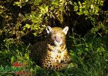 """Natur Foam """"Leopard au repos"""" Leopard"""