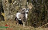 """Natur Foame """"Mouflon debout"""" Muflon"""