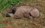 """Natur Foam """"Boar Lying"""" Wildschwein liegend"""