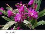 Эпифиллум terry hewitt