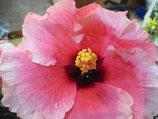 Гибискус лонг розоцветковый (4)
