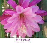 Эпифиллум Wild Plum