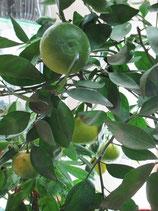 Мандарин карликовый Сицилийский