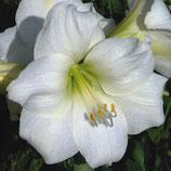 Гиппеаструм Arctic White