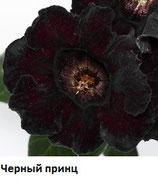 Глоксиния Черный Принц