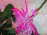 Орхидейный  декабрист Proud Mary