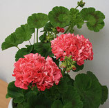 Пеларгония розоцветная Sister Henry