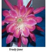 Эпифиллум Trudy Jane