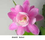 Эпифиллум deutch kaiser