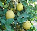 Лимон Южанка