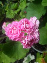 Пеларгония розоцветная Swanland Pink