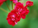 Пеларгония Rose of bulgarien