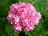 Пеларгония розоцветная Anita