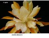 Эпифиллум exotic dancers