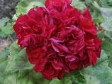 Пеларгония розоцветная Hannah West