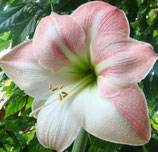 Гиппеаструм Sweet Pink