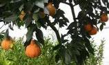 Апельсин Slava Michurina
