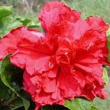 Гибискус Medium Rose Sensation