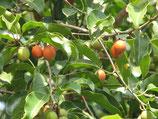 Мимусопс, Испанская вишня, Mimusops elengi