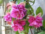 Фуксия English Rose