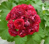Пеларгония розоцветная Ungarisk Appleblossom