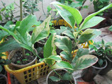 """C.latifolia """"foliis variegatis"""", limetta di Tahiti a foglia variegate, Лайм «Таити»"""