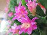 Орхидейный декабрист Konpeitou