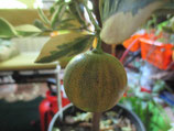 "C. mitis ""Foliis variegatis"" ( Каламондин вариегатный )"