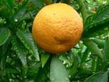 Citrus Marisol, мандарин
