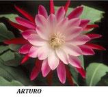 Эпифиллум Arturo