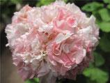 Пеларгония розоцветная  Eras Andrea Sofie