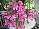 Эпифиллум Dream Pink